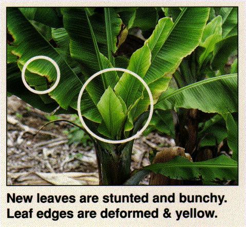 Banana disease continues to spread on Hawaii's Big Island – Lancaster Farming